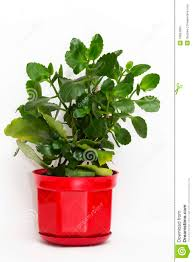 12 Best Plants That Can by Kalanchoe Plant In A Flower Pot Stock Photography Image 10834992