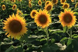 grinter farms sunflowers image mag