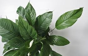 indoor plant 10 low maintenance indoor plants for the brisbane climate calibre