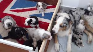 australian shepherd 3 mesi poppata di australian shepherd cuccioli di flora youtube