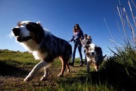 australian shepherd howling golden gate national recreation area u0027s dog restrictions make