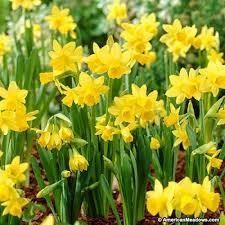 Ideas For Daffodil Varieties Design Miniature Daffodil Bulbs Tete A Tete American Meadows