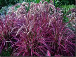 fabulous grasses temperennial new varieties