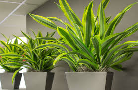Miniature Indoor Plants by Yucca And Dracaena U2013 Either The Jungle Or The Woods