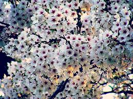 i want to do with you what does with the cherry trees mi