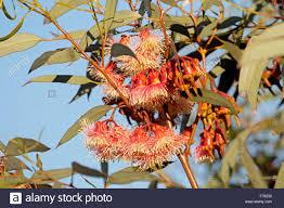 Wildfire Black Gum Tree by Red Flowering Gum Stock Photos U0026 Red Flowering Gum Stock Images