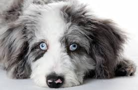 australian shepherd eye diseases dogs eyes indications of eye illness in your dog
