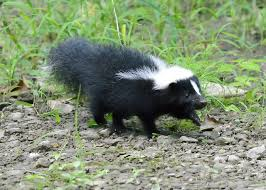 How Do You Get Rid Of Skunks In Your Backyard How To Get Rid Of Skunk Smell In House Home Howto