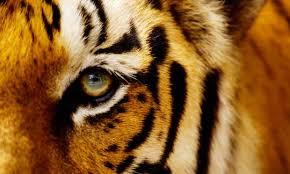 the butterfly tiger thoughts and ideas medium