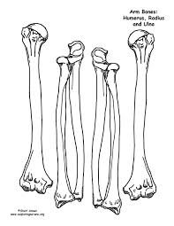 a model of the human skeleton