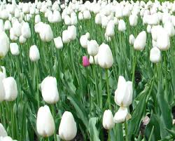 white tulips flowers for flower white tulips flowers