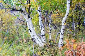 underplanting birches