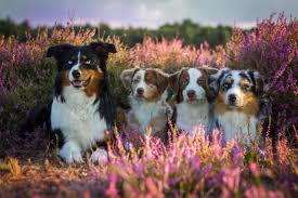 south dakota australian shepherd asca australian shepherd club of america information