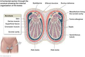 What Is Human Anatomy And Physiology The Reproductive System
