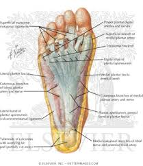 Foot Anatomy Nerves Sole Of Foot Superficial Dissection
