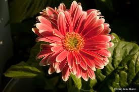 gerber daisy u0027s grow your own subjects u2013 designerfied com