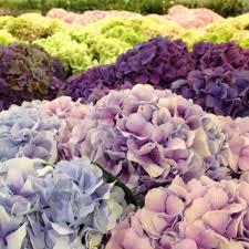 potare le ortensie in vaso come coltivare e far fiorire le ortensie cure potatura e