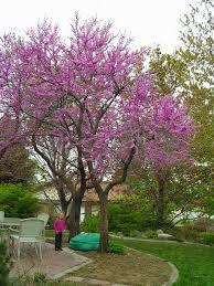 triyae com u003d backyard trees for shade various design inspiration