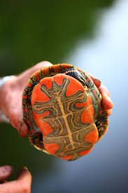 Ringed Map Turtle 23 Best Map Turtles Images On Pinterest Turtles Tortoises And