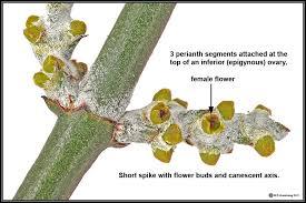 parasitic flowering plants