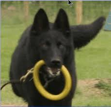 belgian sheepdog gif the lodge kennels gallery