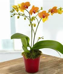 orchid plant orange orchid plant aziatics florist staines