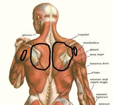 Human Body Muscles Images Tag Muscle Anatomy Of The Back Human Body Archives Human