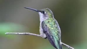 how do hummingbirds mate sciencing