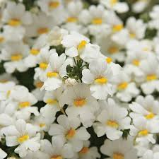 61 best nemesia images on pinterest beautiful flowers pretty