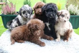 afghan hound and poodle aussiedoodle australian shepherd and poodle mix spockthedog com