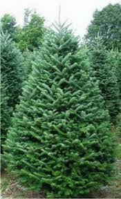 real christmas trees for sale fresh christmas trees and wreaths calie s acre