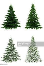 white pine tree pine tree stock photos and pictures getty images
