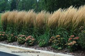 ornamental grass for privacy screen or low growing hedge