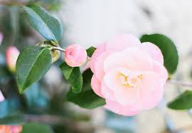camellia flowers camellia meaning and symbolism ftd