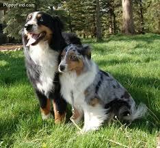 australian shepherd funny 17 best images about aussie love on pinterest aussie puppies