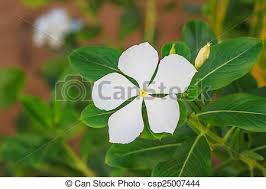 vinca flower vinca flower madagascar periwinkle vinca periwinkle stock