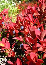true colors 9 shrubs fall foliage gardenista
