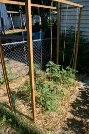 growing tomatoes on a trellis system the new home economics