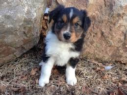 australian shepherd 14 weeks view ad australian shepherd puppy for sale colorado durango usa