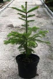 fraser fir christmas tree fraser fir abies fraseri christmas tree 50 75cm inc pot ebay