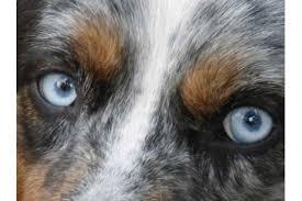 australian shepherd welpen 6 monate australian shepherd in osnabrück hunde kaufen u0026 verkaufen auf