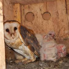 Where Do Barn Owls Live Dnr Barn Owl