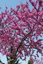 119 best flowering ornamental trees images on