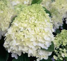 white hydrangea white wedding hydrangea southern living plants
