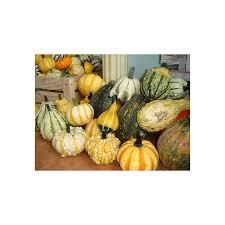 ornamental gourd pumpkin seeds seedarea