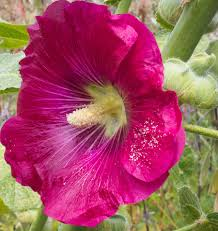 hollyhock flowers how to grow hollyhocks from seeds