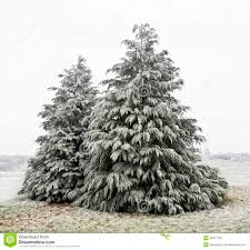 cedar trees with white frost stock photos image 35911723
