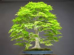50 japanese bonsai maple tree seeds mini bonsai tree for indoor