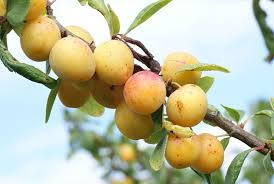 plum tree species an overview