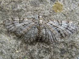 oak tree pug eupithecia dodoneata norfolk moths the macro